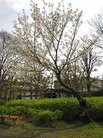 Sakura2010i