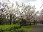 Sakura2010j