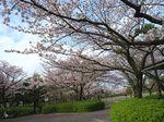 Sakura2010y